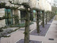 Notable communal garden with imported pleached pear trees