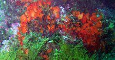 Pentapora fascialis - Rose de mer - 2012 Estartit