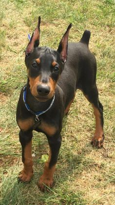 The Doberman Pinscher is among the most popular breed of dogs in the world. Known for its intelligence and loyalty, the Pinscher is both a police- favorite Cute Puppies, Cute Dogs, Dogs And Puppies, Doggies, Doberman Pinscher Dog, Doberman Puppies, Doberman Love, Beautiful Dogs, I Love Dogs