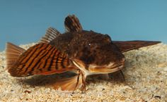 The Sea Robin  -  This bottom-feeding Scorpaeniform fish is colored beautifully and has unique fins that almost resemble wings! Fishermen lucky enough to have caught this fish describe a frog-like sound when they pull it up.