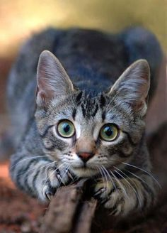 Can I stay at your house, Jonah? Pretty please, Cole! I won't be a bother. I promise... Gato Grande, Photo Chat, Kinds Of Cats, Crazy Cats, Pretty Cats, Beautiful Cats, Animals Beautiful, Cats And Kittens, Cute Animal Memes