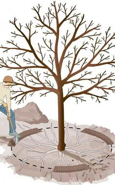 Wurzel-Kur: Neue Blüte für alte Obstbäume