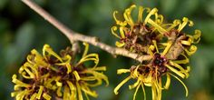 Witch hazel is another wonderful nature's wonders with amazing benefits. For those who believe in natural remedies, this is a good option. Know the benefits!