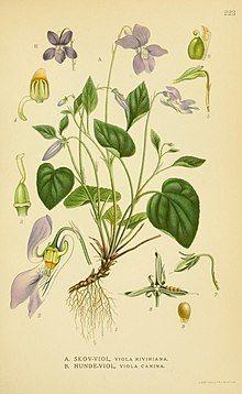/ Lindman, C., Bilder ur Nordens Flora, vol. Violet Flower Tattoos, Violet Tattoo, France Colors, Shades Of Violet, Sweet Violets, Parts Of A Plant, Lund, Botanical Prints, Botanical Drawings