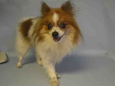 SAFE - 01/16/16 - **OWNER SICK** - GUCCI - #A1063017 - Urgent Brooklyn - FEMALE WHITE/BROWN POMERANIAN MIX, 7 Yrs - OWNER SUR - EVALUATE, HOLD FOR ID Reason OWNER Sick - Intake 01/15/16 Due Out 01/23/16