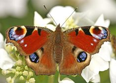Peacock butterfly on Hydrangea - Flickr - Photo Sharing!