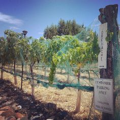 Grenache grapes being protected by netting so that birds, bugs and other creatures can't get to them! #wine #farming #arizona