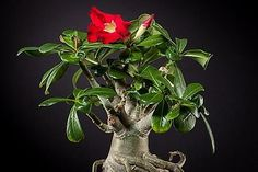 Evite utilizar adubos nitrogenados em demasia nas rosas-do-deserto, para preservar o aspecto robusto e compacto da planta. Foto de Peter Kemmer