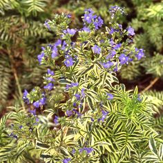 Plantes Vivaces POLEMONIUM caeruleum 'Blanjou' ® ('Brise d'Anjou') - Valériane de Grèce - Pépinière Lepage