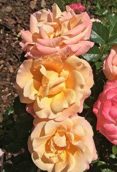 Rosas de Trento