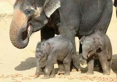 mama and baby elephants