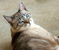 cats lynx siamese - Google Search