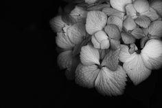 Hydrangea by sevenhalf ☆, via 500px | Plus d'informations sur le SIGMA SD1 Merrill, reflex numérique à capteur d'image directe 46 Millions de pixels : www.sigma-photo.fr