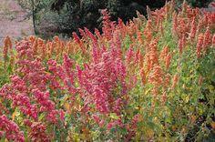 Quinoa 'Brilliant Rainbow' (Chenopodium quinoa 'Brilliant Rainbow') | MijnTuin.org