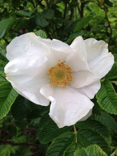 An evergreen climbing shrub, the Cherokee rose can grow in the dry conditions of the American South but it's actually native to China. via ProFlowers