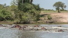 A crash of hippos Photo by Terry Allen — National Geographic Your Shot