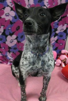 Piper - URGENT - CITY OF WICHITA FALLS ANIMAL SERVICES in Wichita Falls, TX - ADOPT OR FOSTER - Young Female Australian Cattle Dog