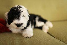 sheepadoodle, my dream puppy!