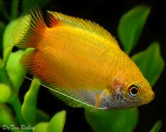 "Gold Honey Gourami. 2"", 72-83F. Keep in pairs in densely planted tanks with floating plants."