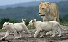 White lion cubs born Germany | ... owner Jim Clubb training the lions now in Japan's Circus Kinoshita