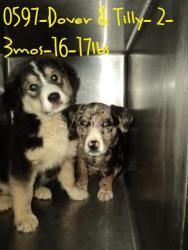 Dover & Tilly is an adoptable Cattle Dog Dog in Beckley, WV. These 2 sweet faces came in as strays. We are guessing there brother and sister. There very sweet and very friendly. They will be ready for...