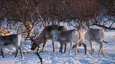 Reindeer live freely in the forests of Finland. http://wildnordic.fi/safaris/reindeer-tours/