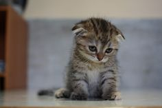 aww baby scottish fold.
