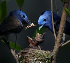 The Black-naped Monarch or Black-naped Blue Flycatcher (Hypothymis azurea) is a slim and agile passerine bird belonging to the family of monarch flycatchers. It  breeds across tropical southern Asia from India and Sri Lanka east to Indonesia and the Philippines. Photo by John & Fish