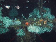 cold water corals - deep down in the Gulf of Mexico