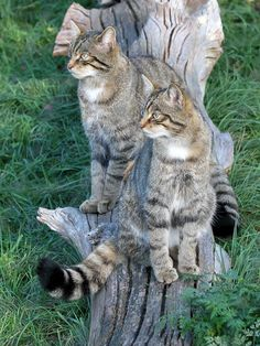 Scottish Wildcats I Love Cats, Cool Cats, Animals And Pets, Cute Animals, Small Wild Cats, Gato Grande, British Wildlife, Cute Cat Gif, Warrior Cats
