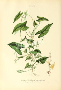 Wild Buckwheat or Black Bindweed, polygonum convolvulus   ...