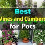 24 Best Vines for Containers | Climbing Plants For Pots