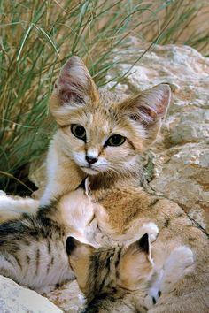 Arabian sand cat This small cat is widely distributed in the deserts of North Africa and Southwest and Central Asia. credit to abudhabiweek