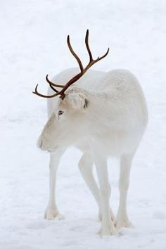 White Elk by Anlij