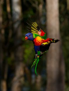 Rainbow Lorikeets are extremely fast in flight. You can hear wind resistance coming from their wings in a similar manner to hummingbirds.    They flock along the east coast of Australia in large numbers in search of fruit and nectar.