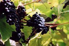 Propagating Grapes Through Cuttings