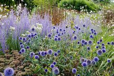 """Blue Spire"" Russian sage paired with Echinops ritro or Globe Thistle. The flowers have a metallic lustre and may be cut and dried for winter decoration. The plants are suitable for the back of the herbaceous border and will attract many bees and butterflies into the garden. The prickly blue balls in July - they are actually softer than they look. It also seems to be quite drought tolerant."