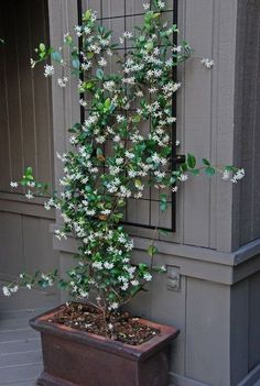 Star jasmine in planter with tellis hung on the wall just above for it to climb. Love this idea