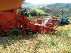 La raccolta del riso - Leonforte (EN) - via @corradovigo