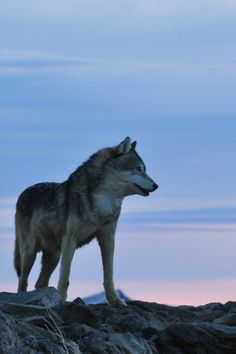 Wolf at Sunrise by Anne-Marie Klaus