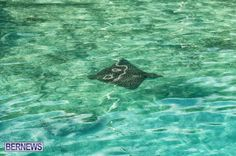 Bermuda spotted eagle ray http://bernews.com/tag/underwater-photos/