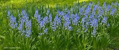 bluebells? Wonder if is true they fair well in part-sun to shade since one place says tolerates shade and other says needs full to part sun.