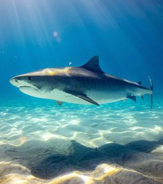 It's time for the most intense TV week of the year: Discovery Channel's iconic Shark Week. Spanning the last week of July into August, this year's shark-themed Shark Week, Shark In The Ocean, Fish Ocean, Shark Drawing, Shark Pictures, Cute Shark, Great White Shark, Shark Tattoos, Pisces