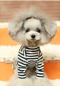My favorite poodle model