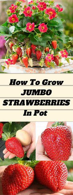 Growing Strawberries in Containers - Organic Gardening Types Of Strawberries, Growing Strawberries In Containers, Organic Gardening, Gardening Tips, Sustainable Gardening, Balcony Gardening, Indoor Gardening, Vegetable Garden, Fruit Garden