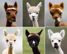 Alpaca haircuts