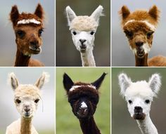Alpaca haircuts :)
