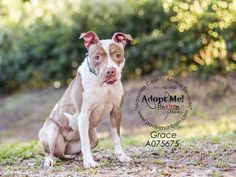 GRACE - URGENT - located at Manatee County Animal Services in Palmetto, Florida - ADOPT OR FOSTER - Spayed Female Pit Bull Terrier Mix - at shelter since March 15, 2016