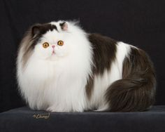 What do you need to know before considering Persian cat adoption? Cute Little Kittens, Cute Cats And Kittens, I Love Cats, Crazy Cats, Cool Cats, Kittens Cutest, Pretty Cats, Beautiful Cats, Animals Beautiful