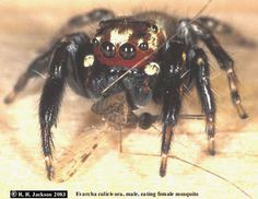 Evarcha culicivora, a jumping spider found around Lake Victoria in Kenya and Uganda, eating a female mosquito. They prefer mosquitoes that have fed on the blood of a mammal; the more blood filled mosquitoes they ate, the more their scent attracted the opposite sex.